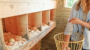 The best nutrition for your backyard chickens
