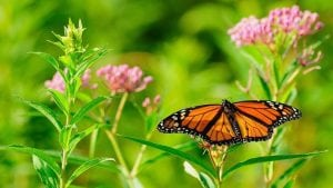 Invite monarchs to stay at your place this summer