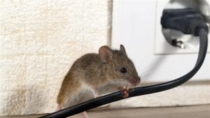 Rats! How these rodents can ruin your day